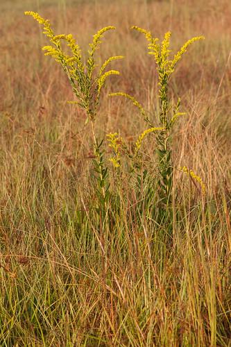 unitedstates fl asteraceae dicots hainescity solidagofistulosa pinebarrengoldenrod