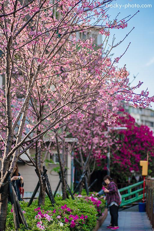 2015.Mar sakura @Taipei