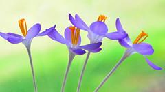 Crocus Flower Study