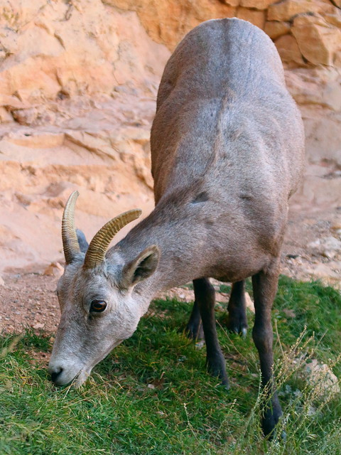 IMG_2455 Bighorn Sheep, Grand Canyon National Park