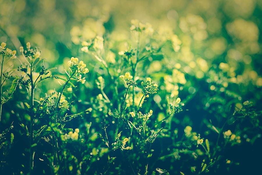 Primavera Bicolor
