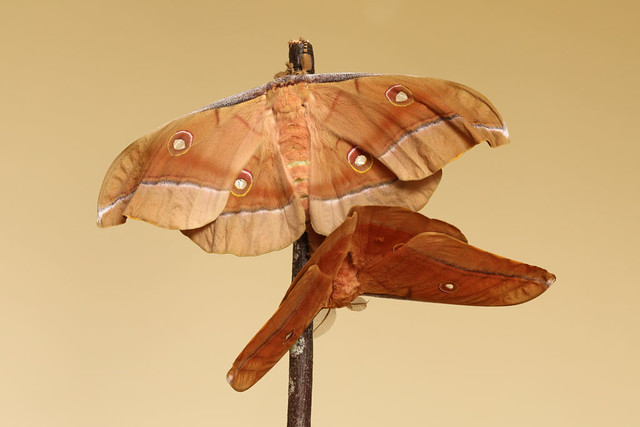 Oak silk moth chinese