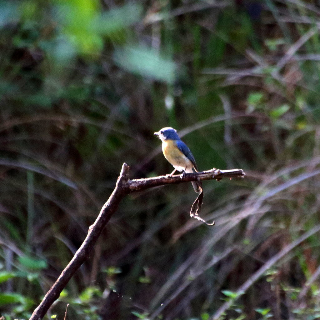 Tickel's blue flycatcher