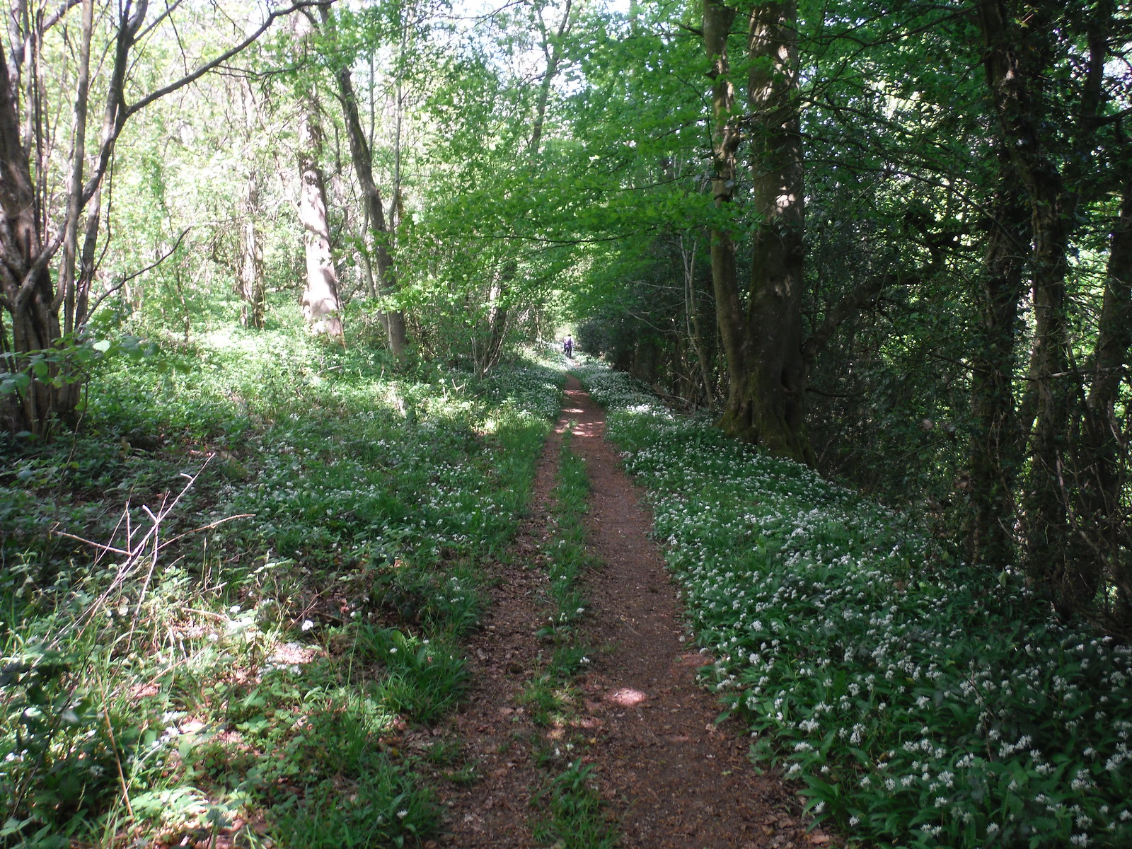 Wild Garlic in Stansted Forest SWC Walk Rowlands Castle Circular