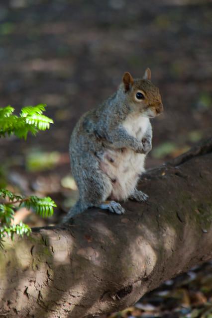 Pregnant squirrel, watchful