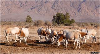 Scimitar Oryx (Hai-Bar Yotvata)