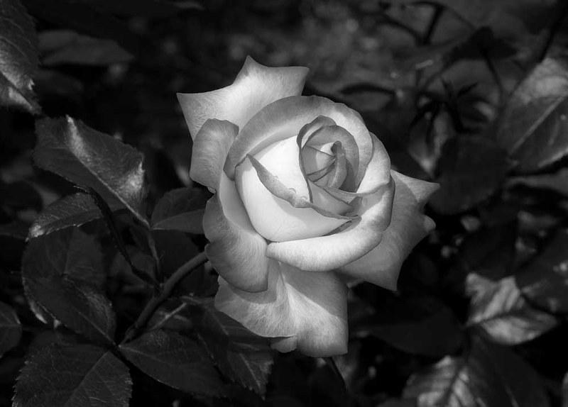 rosa-luto