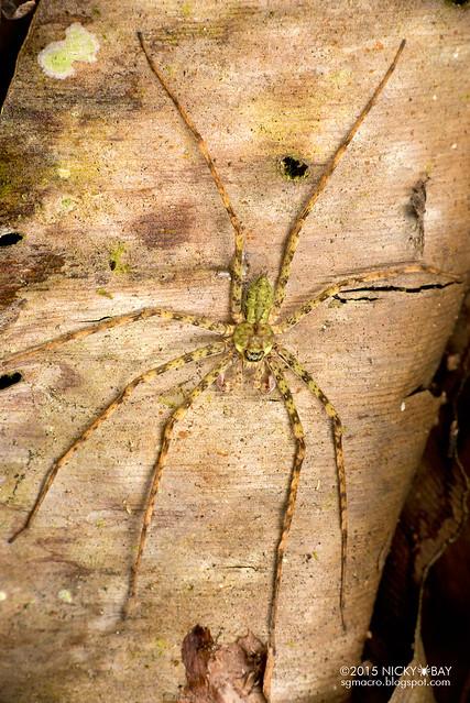 Huntsman spider (Sparassidae) - DSC_2671