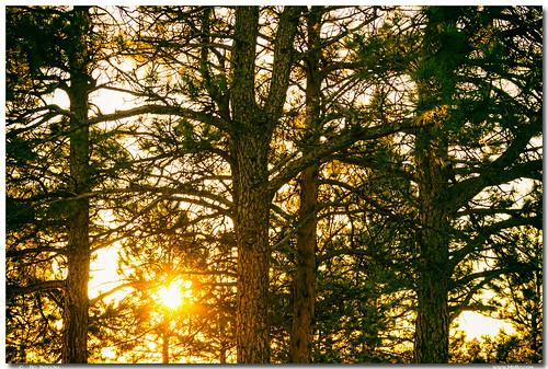 Golden Pine Tree Forest