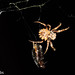 Small photo of Star-bellied Orbweaver, Acanthepeira stellata