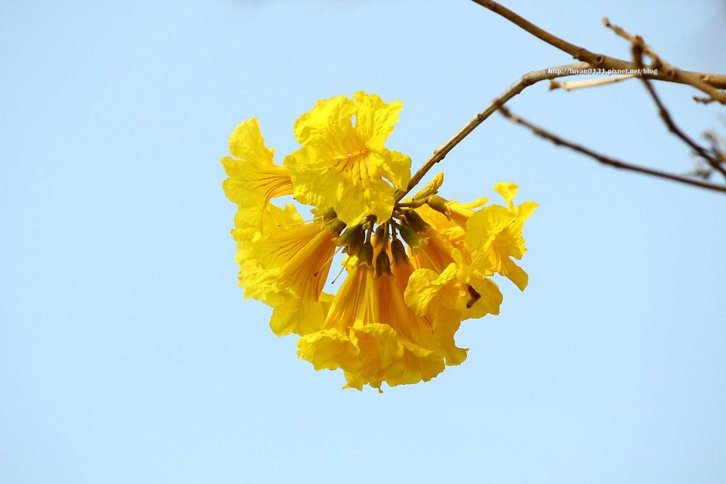 黃花風鈴木 (12)