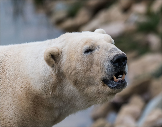 Victor The Polar Bear, Yorkshire Wildlife Park