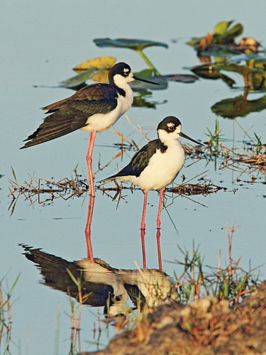 Black-necked Stilts 07-20150315