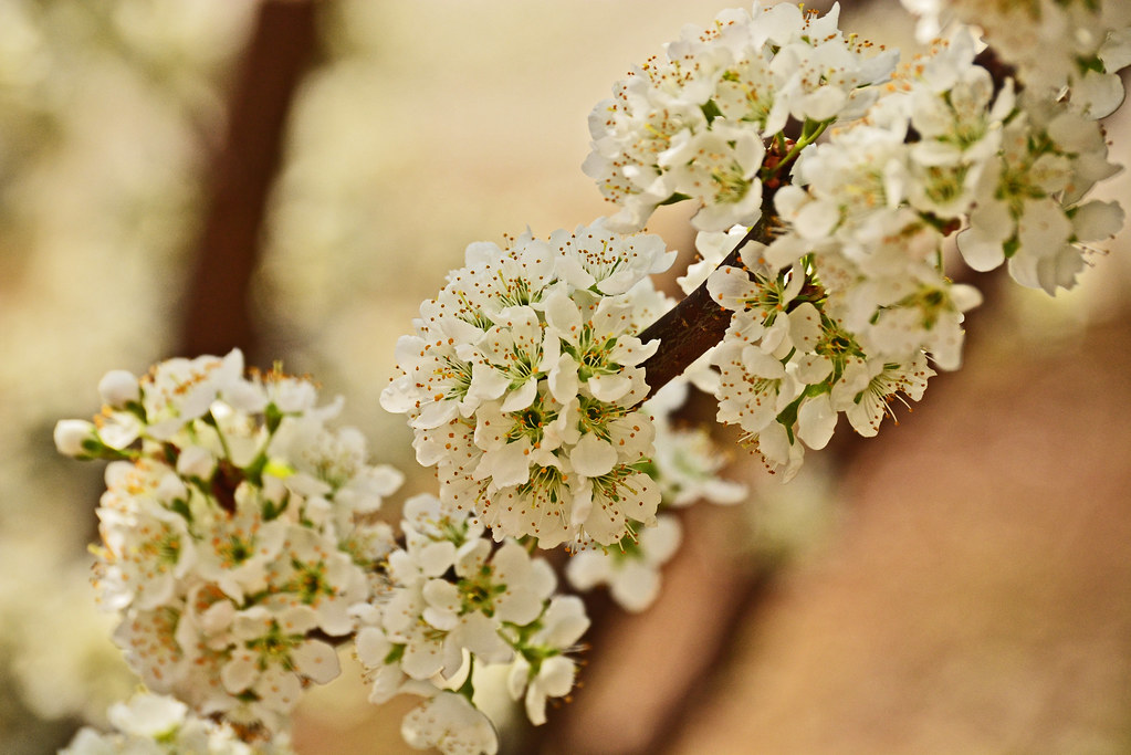 georgia, plum tree, flowers, white flowers