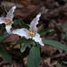 Trillium pusillum:  Van Landingham Glen, UNC Charlotte Botanical Gardens, Charlotte, NC by Will Stuart