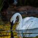 Trumpeter swan by rvtn