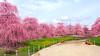 Photo:Weeping Ume trees. 枝垂れ梅 By T.Kiya