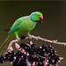 Rose-ringed parakeet by A Antal