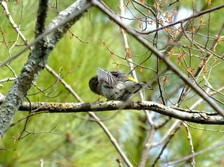 Myrtle / Yellow-Rumped Warbler