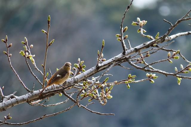 ジョウビタキ ジョウビタキ Daurian Redstart