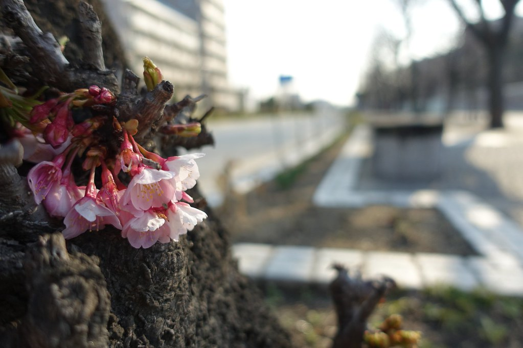 The flower in commuting(early cherry blossom) 2015/03 No.3.