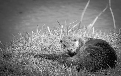 Otter, Chilling
