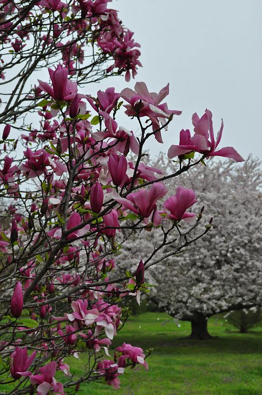 Magnolia x 'Galaxy' (1)