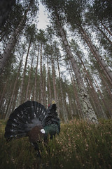 Displaying Capercaillie