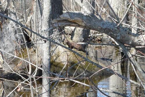 American Mink mammal #5