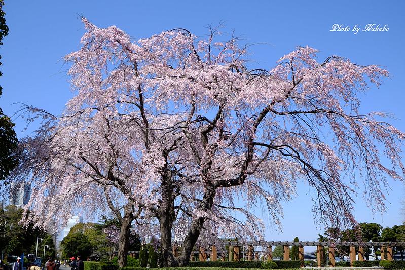 枝垂れ桜 -山下公園- by Nakabo