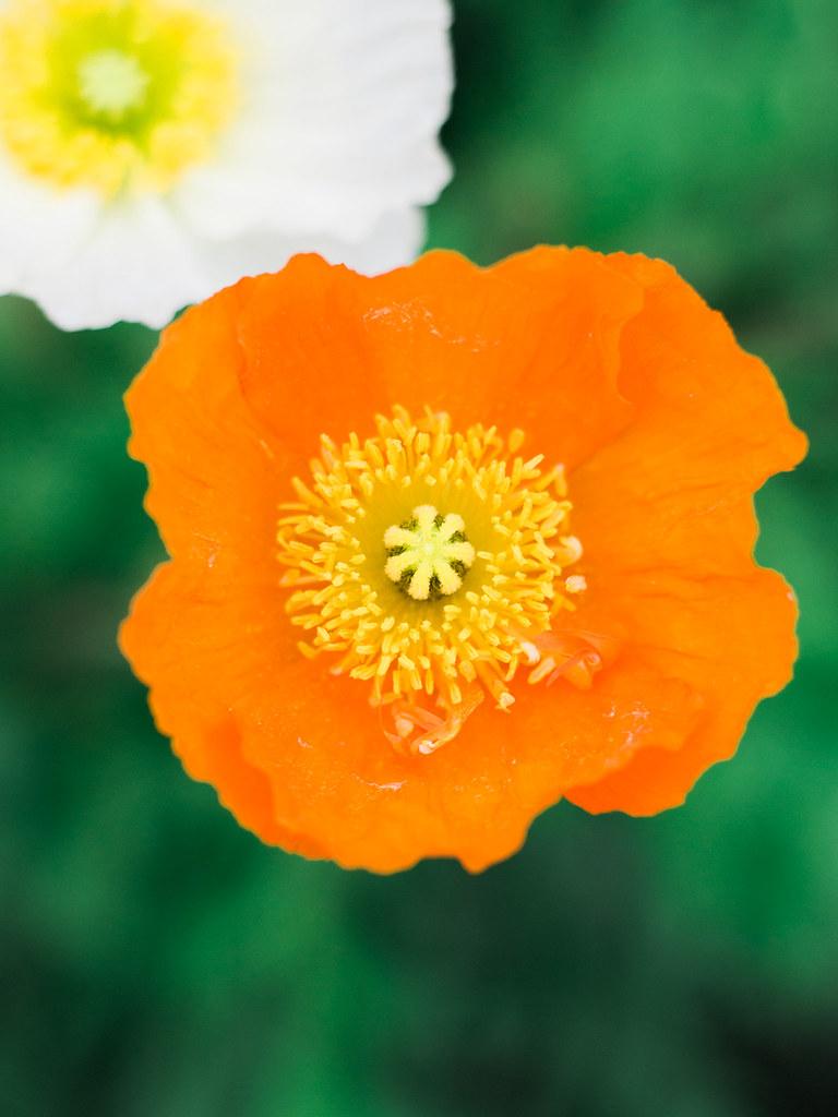 Orange Poppy in Showa Kinen Park