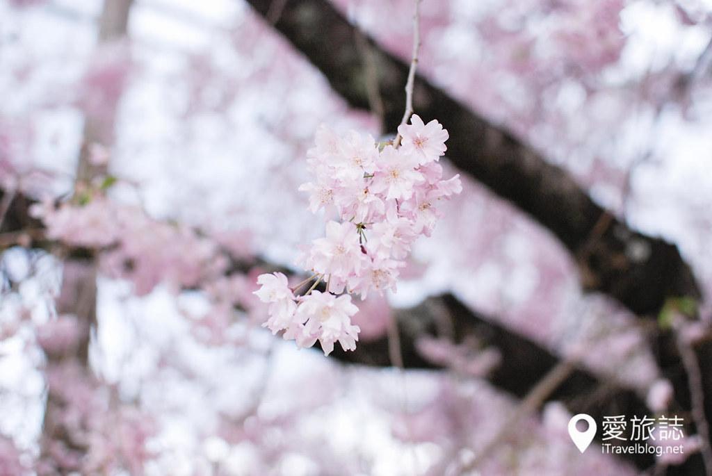 京都赏樱景点 半木之道 34