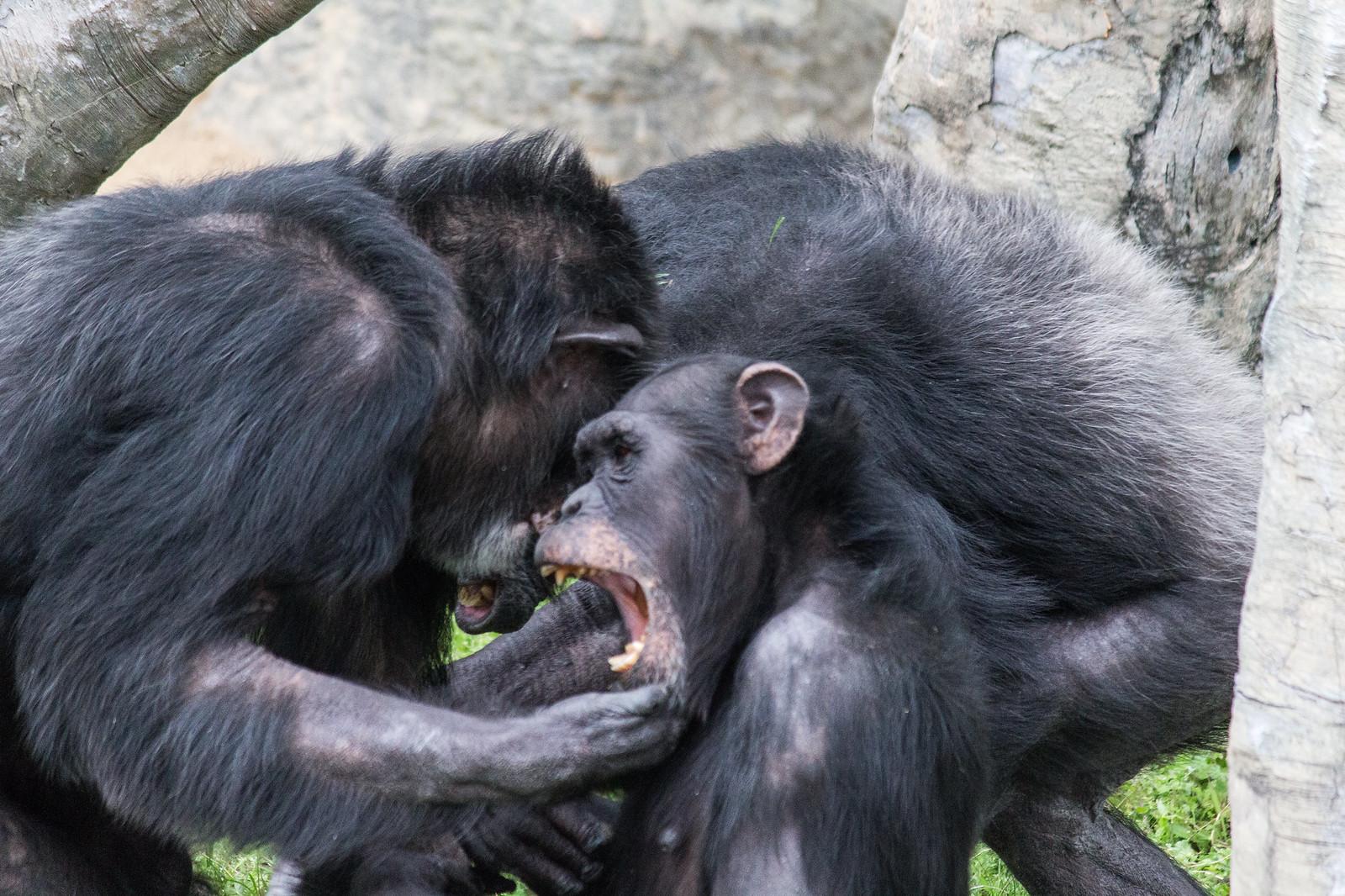 喧嘩をするチンパンジー