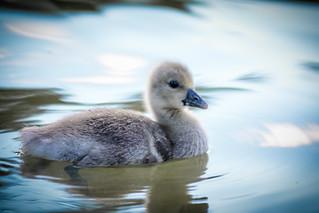 Patitos_Ducks