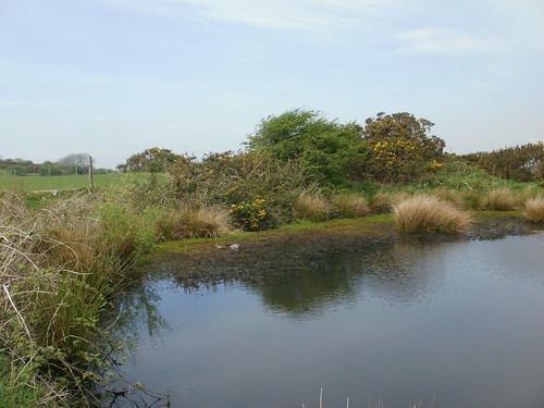 Dew pond and ducks