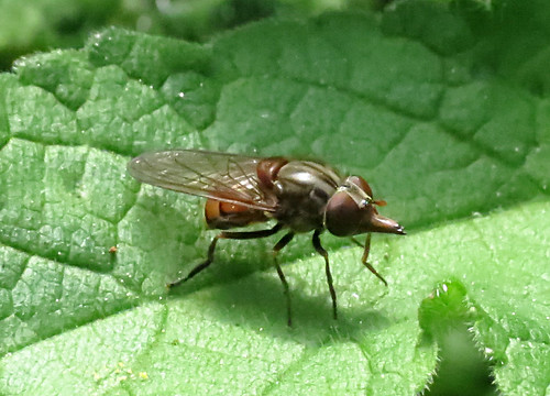 Rhingia campestris Tophill Low NR, East Yorkshire May 2016