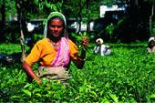 Komfort-Trekking Indien - Sikkim - Bhutan. Teepflückerinnen bei Darjeeling. Bild Archiv Härter.