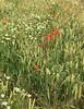 Great Coxwell Poppy Field