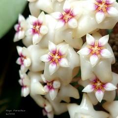 Hoya paracitica