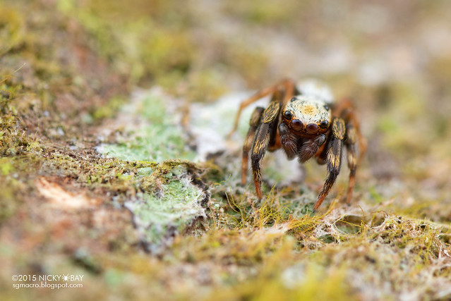 Jumping spider (Salticidae) - DSC_4926