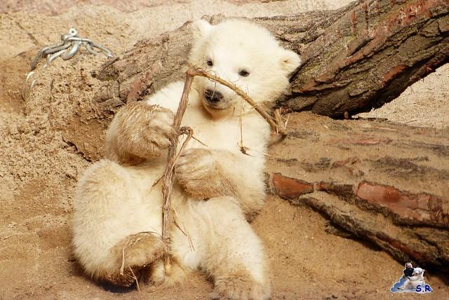 Eisbär Nachwuchs Zoo Rostock 30.03.2015  106