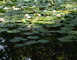 A waterscape with lily flowers.