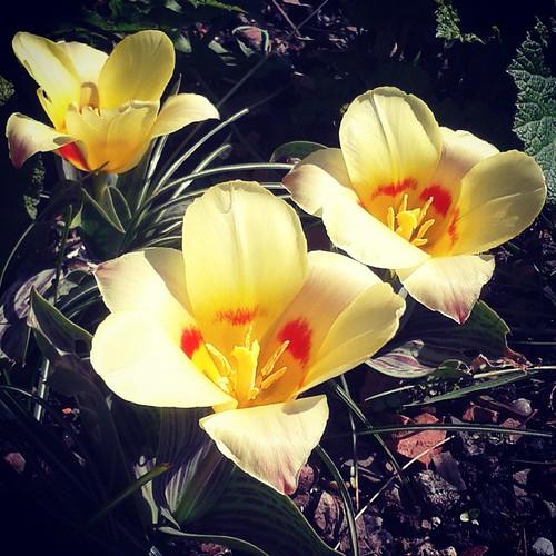 Odd little tulips