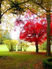 Favorite Japanese Maple