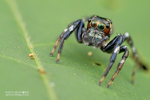 Jumping spider (Salticidae) - DSC_4070