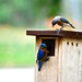 bluebirds moving in by bromwell