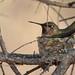 Anna's Hummingbird_03_21_15_San Diego National Wildlife Refuge_Spring Valley CA 254-1-2 by Ryan Rubino