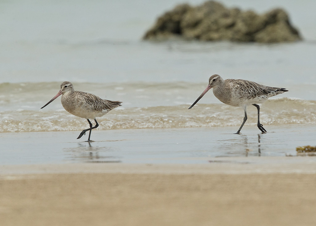 Bar-tailed Godwit   Thailand