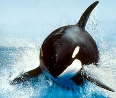 common bottlenose dolphin(0.0), short-beaked common dolphin(0.0), animal(1.0), marine mammal(1.0), whale(1.0), marine biology(1.0), killer whale(1.0), dolphin(1.0),