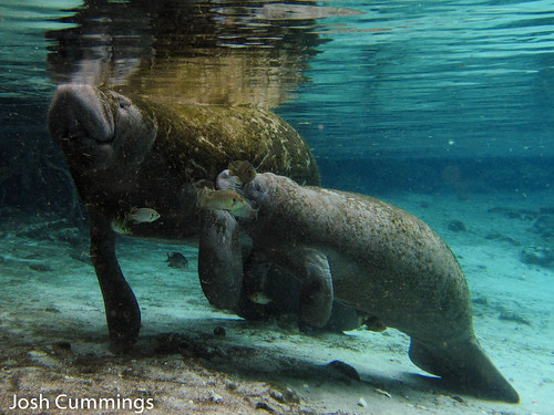 Manatee and Nursing Calf